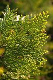 Juniperus Sabin