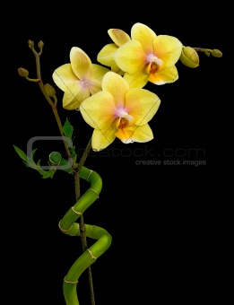 Blooming yellow orchid and bamboo on a black background