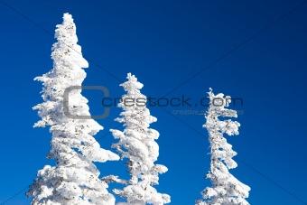Tops of fir trees