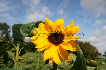 Brilliant sunflowers in summer