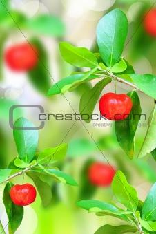 red ripe cherries on tree branch in the garden