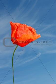 Red poppy flower against blue sky