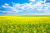 Yellow field rapeseed