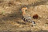 Eurasian Hoopoe on the Ground