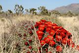 Spring in Mojave Desert