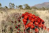 Spring in Mojave Desert