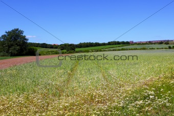 Camomile flowers in wheat field