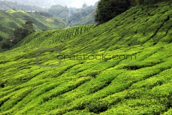 Tea Plantation, Malaysia