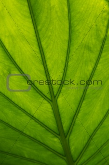 Backlit Green Leaf