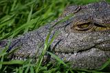 Nile crocodile closeup