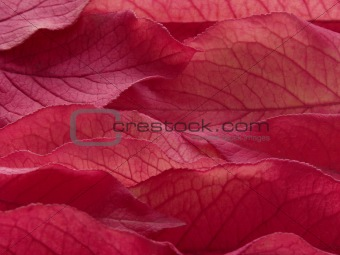 purple leaves