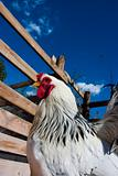 Hen in the farm