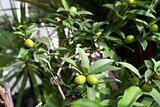 Plum limes