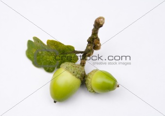 Acorns from an Oak tree