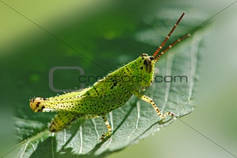 small green grasshopper in the parks