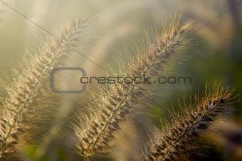 Bristle Grass IV
