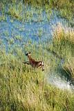 Aerial of running deer.