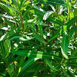 Leafy plant.