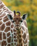 Portrait of a baby Zebra