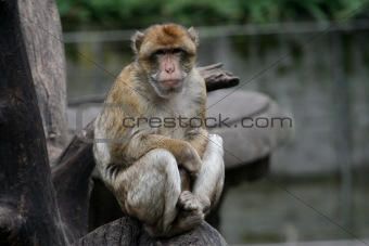 Baboon Sat in a tree