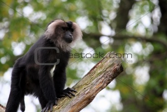 Baboon walking on tree branch