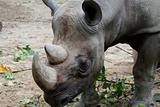 Portrait of an African Rhinocerous