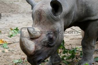 Portrait of an African Rhinocerous
