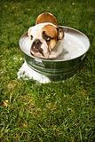 Bulldog in bath.