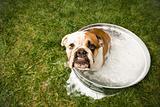 Bulldog bath.