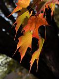 Sugar Maple Leaves Brightly Back-lit, Autumn