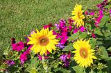 flower bed with sunflowers and petunias