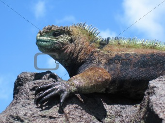 Colorful Marine Iguana On Rock