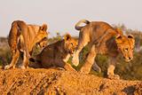 Three Lion Cubs At Play