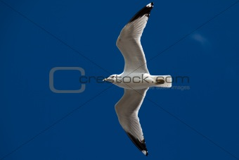 Beautiful seagull flying on the sky
