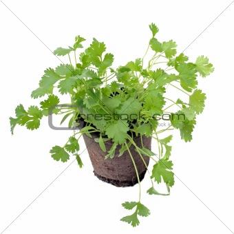 cilantro in pot isolated