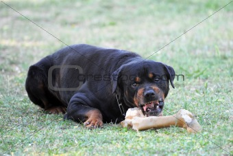 angry rottweiler