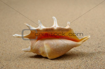 Macro studio shot of beautiful sea shell on a yellow sand
