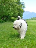 Big bobtail old english sheepdog breed dog outdoors on a field