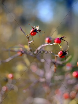 Beautiful autumn abstract background with wild berries outdoors