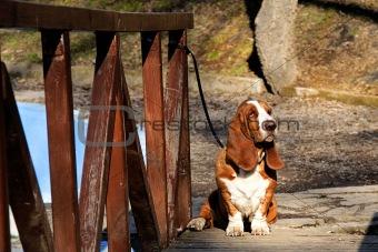 basset hound on wooden bridge