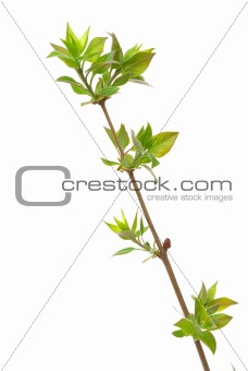 Branch lilac tree with spring buds isolated on white