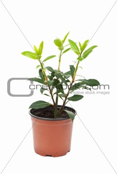 Small laurel tree in the pot