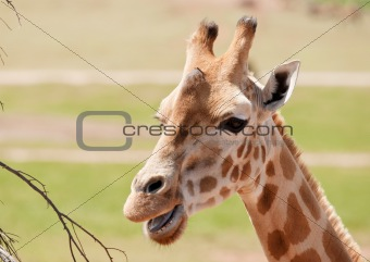 african giraffe up close
