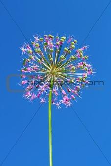 Allium inflorescence