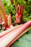 Leaves of a rhubarb, close up