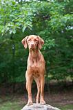 Vizsla Dog Standing on a Rock