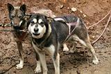 Husky Dog Sledding, Alaska, USA