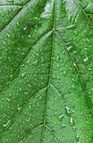 Green leaf with drops