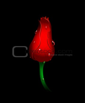 Beautiful red tulip on black