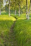 Sunlit path in the birch forest